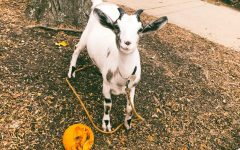 Fall Fest: Goats, Food, and Fun